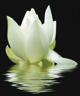 City White Lilies