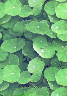 Lotus Verde