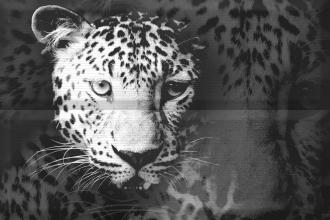 Aure Composicion Leopard